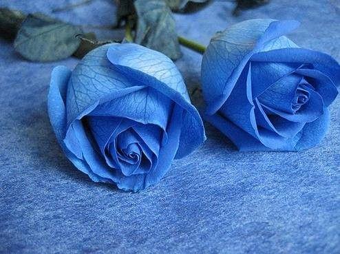Roses bleu.